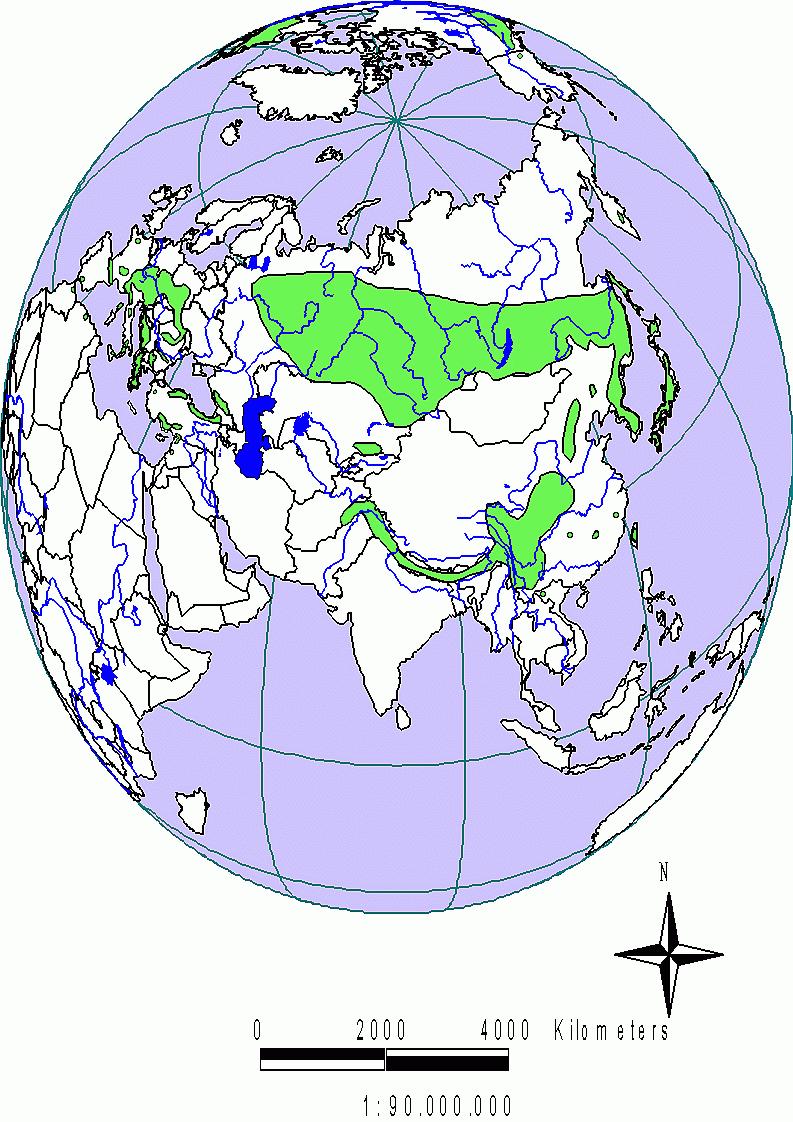 Abies eurasien