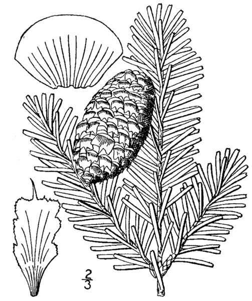 File:Abies fraseri drawing.png