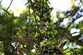 Acacia-cucuyo-(5).jpg