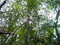 Acacia costaricensis. Cornizuelo. Carara National Park. Costa Rica.JPG