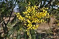 Acacia dealbata, Santa Coloma de Farners 03.jpg