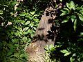 Acacia mearnsii (6363630347).jpg