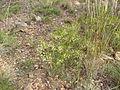 Acacia penninervis (5365029353).jpg