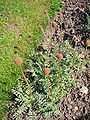 Acaena macrostemon 2007-06-02 (plant).jpg