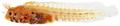 Acanthemblemaria aspera - pone.0010676.g154.png