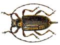 Acanthocinus reticulatus.png