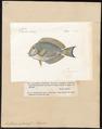 Acanthurus matoides - 1700-1880 - Print - Iconographia Zoologica - Special Collections University of Amsterdam - UBA01 IZ13700035.tif