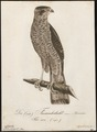 Accipiter nisus - 1800-1812 - Print - Iconographia Zoologica - Special Collections University of Amsterdam - UBA01 IZ18300073.tif
