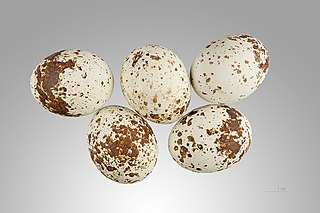 Jastrab krahulec - vajíčka