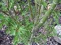 Acer palmatum Okushimo 2zz.jpg