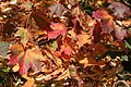 Acer platanoides Mariemont 2.jpg