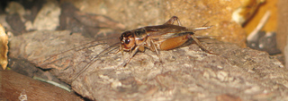 Male House Cricket