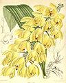 Acineta densa - Curtis' 116 (Ser. 3 no. 46) pl 7143 (1890).jpg
