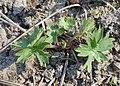 Aconitum variegatum kz01.jpg