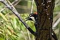 Acorn Woodpecker Huachuca Canyon Sierra Vista AZ 2019-07-27 09-28-30 (48413386457).jpg
