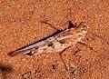 Acrotylus longipes female Mauritania.jpg