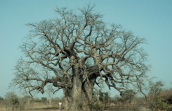 Adansonia digitata 20050823.png