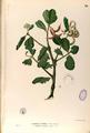 Aegiceras corniculatum Blanco1.38-original.png