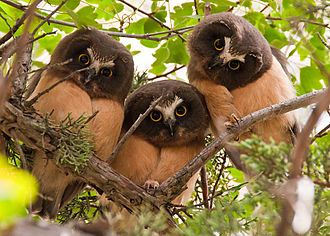 Northern saw-whet owl - Three juveniles in Oregon, United States