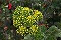 Aeonium-tabuliforme-flowers.JPG