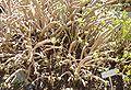 Aeonium arboreum (Villa Hanbury, Italy).JPG