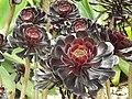 Aeonium arboreum Conservatory.jpg