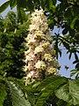 Aesculus hippocastanum flowers.jpg