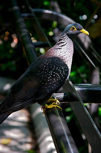 Columba (genus) - African olive pigeon (C. arquatrix)