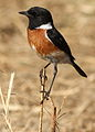 African Stonechat, Saxicola torquatus at Rietvlei Nature Reserve, South Africa (10055215303).jpg