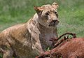 African lion, Panthera leo at Krugersdorp Game Park, South Africa (31301342505).jpg
