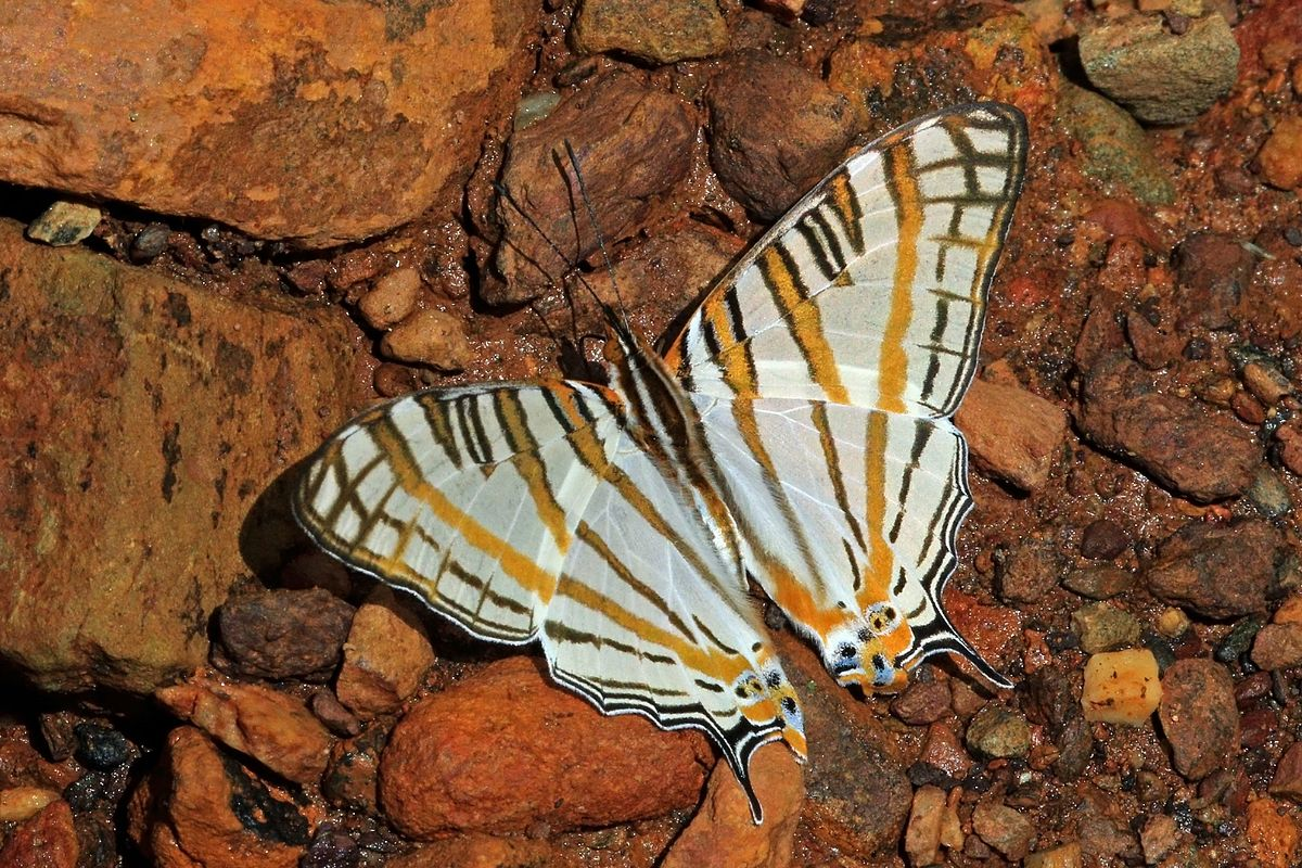 Cyrestis camillus - Wikipedia