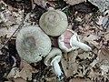 Agaricus bohusii 771784.jpg