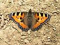 Aglais urticae, Lepidoptera, Nymphalidae.jpg