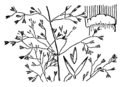 Agrostis capillaris drawing.png