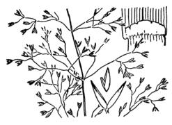 Agrostis capillaris drawing.png