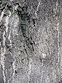 Ailanthus altissima textura del tronco.jpg