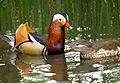 Aix galericulata -Richmond Park, London, England -pair-8 (1).jpg
