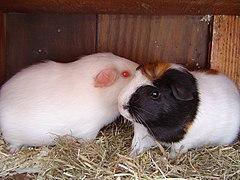 Ajax and Flower the guinea pigs (2006).jpg