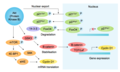 Akt Substrates Involved in Cell Cycle Regulation.png