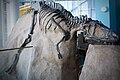 Albertosaurus libratus skeleton.jpg