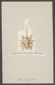 Albunea symnista - - Print - Iconographia Zoologica - Special Collections University of Amsterdam - UBAINV0274 006 02 0010.tif