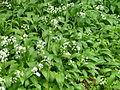 AlliumUrsinumHilden (2).JPG