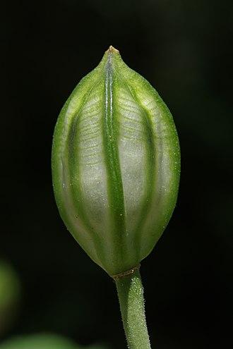 Allium - Capsule of Allium oreophilum.