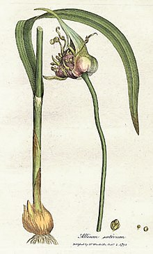 Allium sativum, known as garlic from William Woodville, Medical Botany, 1793.