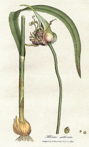 Garlic - Allium sativum, known as garlic, from William Woodville, Medical Botany, 1793.