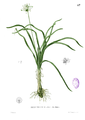 Allium sp Blanco1.87.png