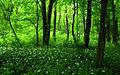 Allium ursinum - Uroczysko Zielona 01.jpg