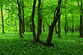 Allium ursinum - Uroczysko Zielona 02.jpg