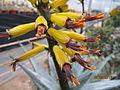 Aloe (4509110738).jpg