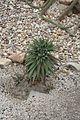 Aloe Melancantha-Namibia (1) (11983235845).jpg